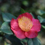 『山茶花』と『椿』の違いとは? 見分け方のコツはあるの?