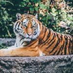 『ライオン』『トラ』『チーター』の違いとは? 強いのは? 大きさは?